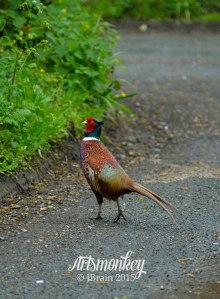 Pheasant, Artsmonkey Photo