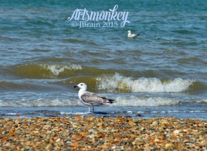 Seagull, artsmonkey photo